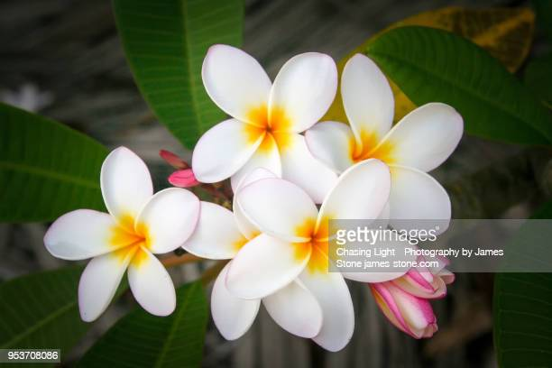 Tropical Frangipani Flowers