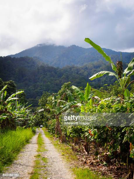 tropical fruit farm in mt kinabalu foothills, sabah, malaysia - plantation stock pictures, royalty-free photos & images