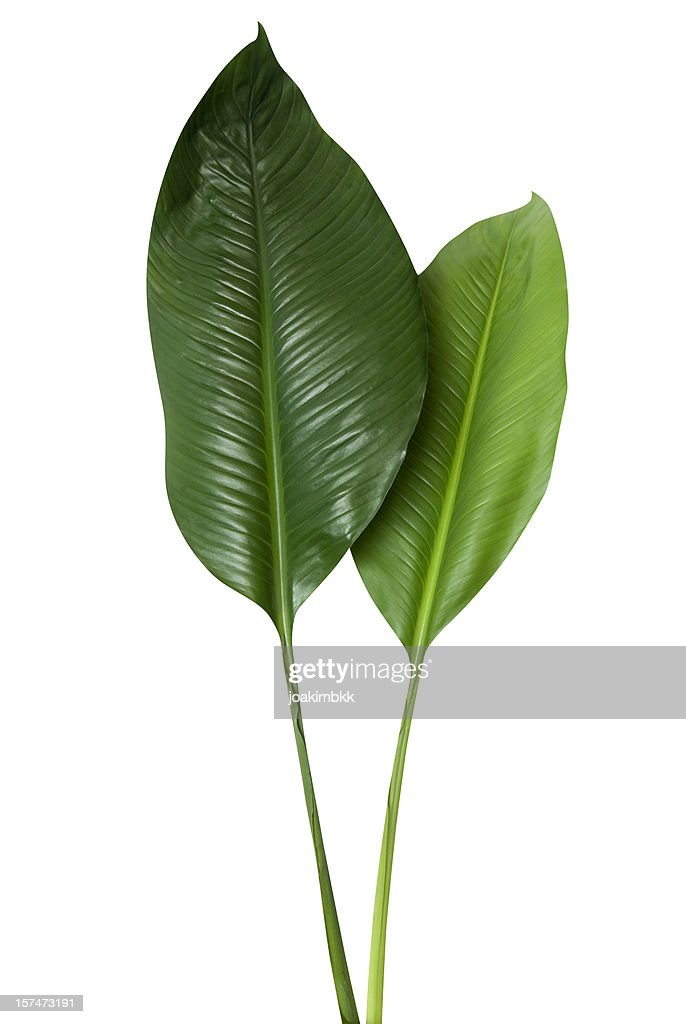 Tropical green leaf isolated on white with clipping path : Stock Photo