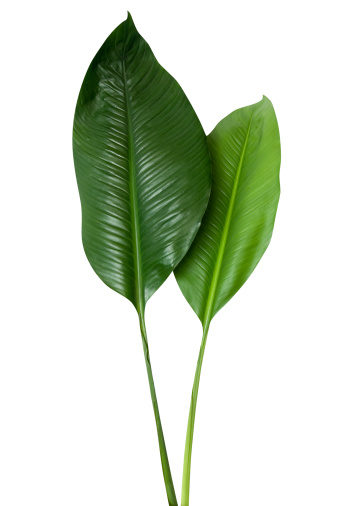 Tropical green leaf isolated on white with clipping path 157473191