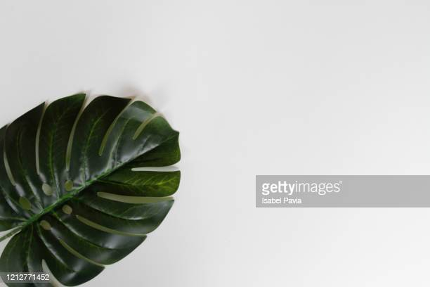 tropical green leaf on white - palm branch stock pictures, royalty-free photos & images