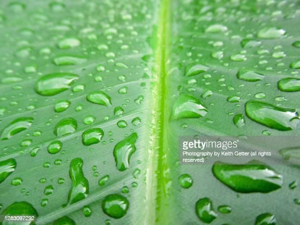 tropical green leaf with raindrops - リーフ柄 ストックフォトと画像
