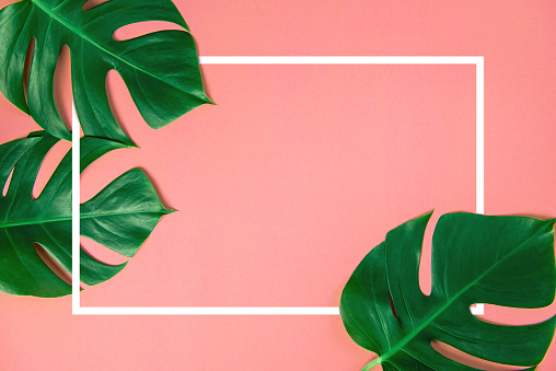 Tropical green monstera leaves nature on pink background with frame design for copy space 951997754