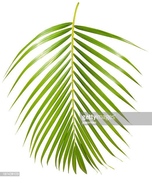tropical green palm leaf isolated on white with clipping path - tropical tree stock pictures, royalty-free photos & images