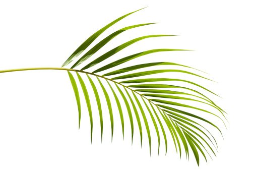 Tropical green palm leaf isolated on white with clipping path 157444321