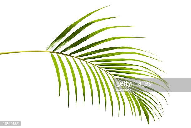 tropical green palm leaf isolated on white with clipping path - palm tree stock pictures, royalty-free photos & images