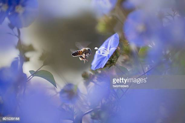 Tropical honey bee with morning glory.