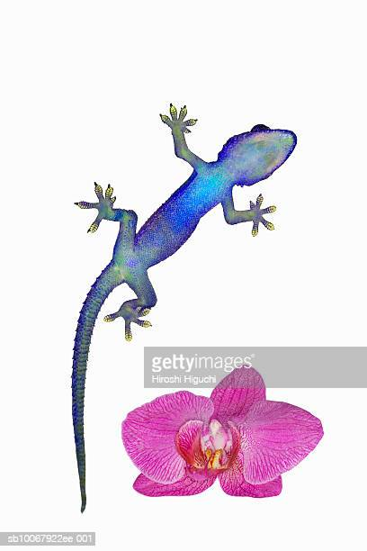 tropical house gecko (hemidactylus mabouia) with pink phaleonopsis orchid, close-up - geco foto e immagini stock