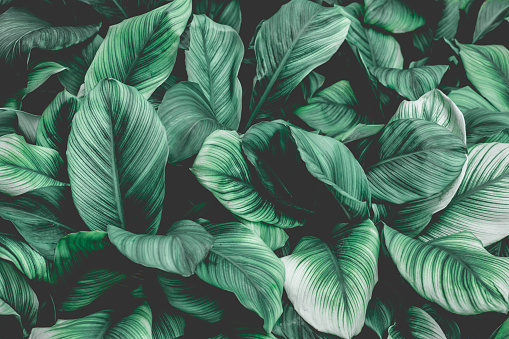 Tropical leaf background, nature background 1148235075