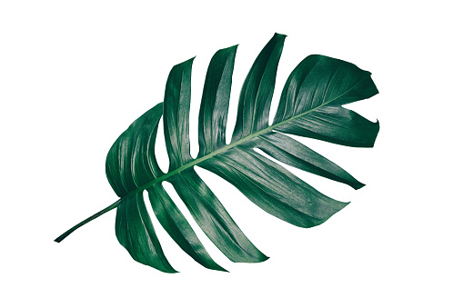 tropical leaf isolated on white 937803214