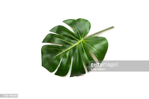tropical leaf monstera on white background. - fensterblatt aroid stock-fotos und bilder