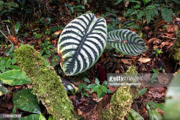 tropical leaf, tawau hills, borneo - argenberg stock pictures, royalty-free photos & images