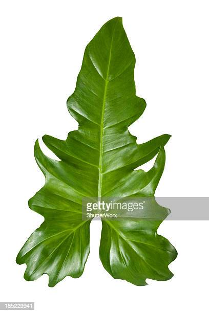 Tropical Leaf With Clipping Path