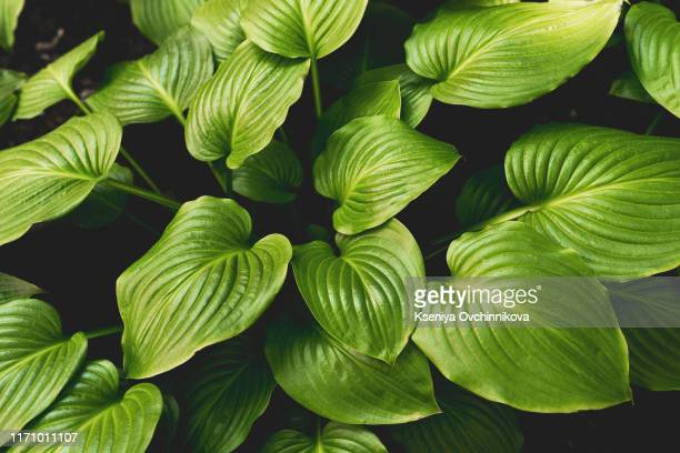 tropical leaves, abstract green leaves texture, nature backgrou - flora imagens e fotografias de stock