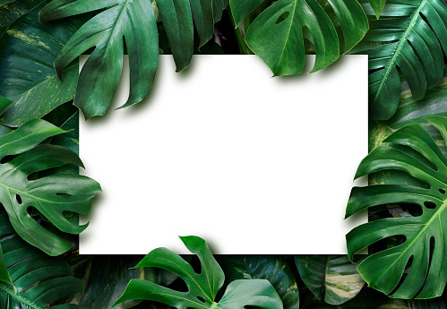 Tropical leaves and blank white paper background 1157177964