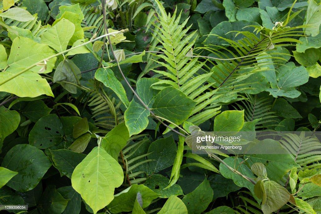 Tropical leaves, Borneo : Stock Photo