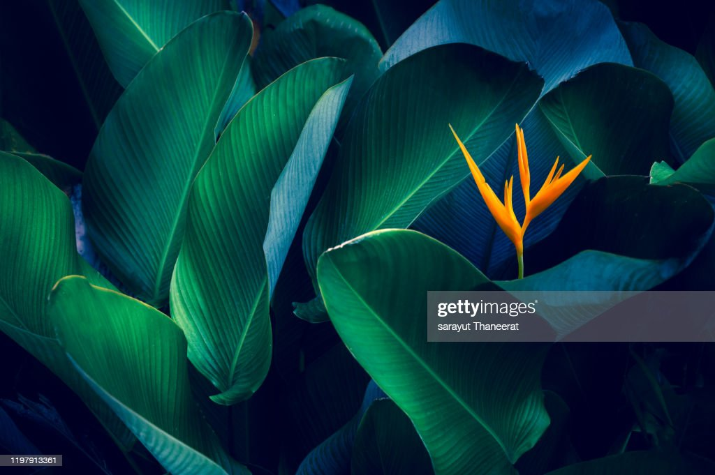 tropical leaves colorful flower on dark tropical foliage nature background dark green foliage nature : Stock Photo
