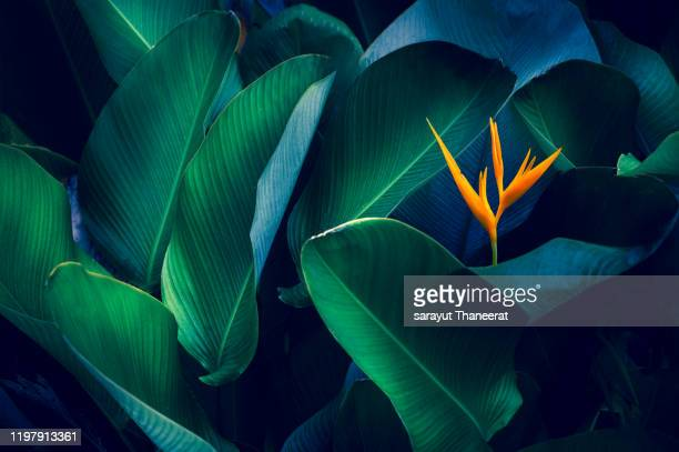 tropical leaves colorful flower on dark tropical foliage nature background dark green foliage nature - pflanze stock-fotos und bilder