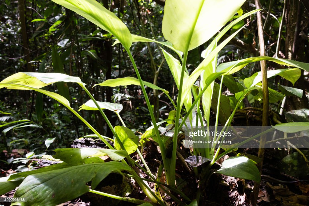 Tropical leaves in sunlight, Borneo rainforest, Malaysia : Stock Photo