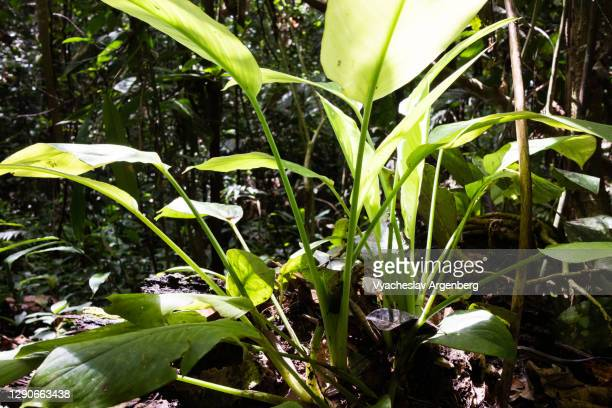tropical leaves in sunlight, borneo rainforest, malaysia - argenberg stock pictures, royalty-free photos & images