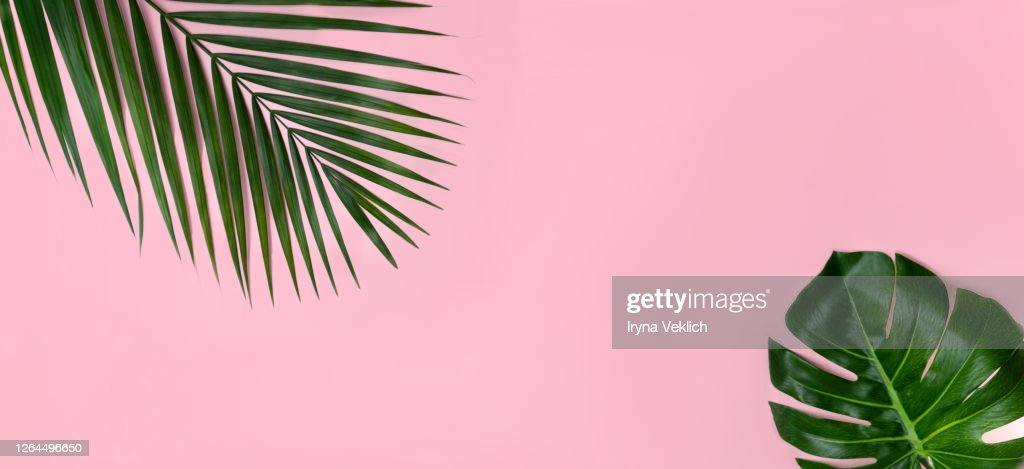 Tropical Leaves Monstera And Palm Leaf On Pink Background High Res Stock Photo Getty Images Download premium illustration of hand drawn tropical leaves on a pastel pink background by donlaya about banana leaf, jungle, millennial pink https www gettyimages dk detail photo tropical leaves monstera and palm leaf on pink royalty free image 1264496650