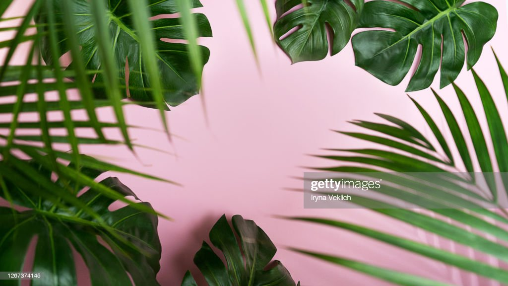 Tropical Leaves Monstera And Palm Leaf On Pink Background High Res Stock Photo Getty Images Download 268 leaf tropical monstera free vectors. tropical leaves monstera and palm leaf on pink background high res stock photo getty images