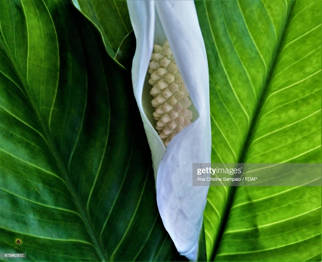 Tropical lily flower stock photo getty images tropical lily flower stock photo izmirmasajfo Images