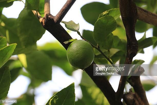 Tropical Lime tree
