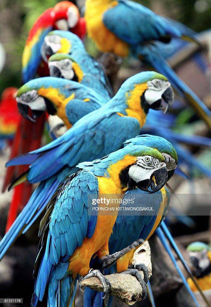 Tropical macaw birds are on display at a : Fotografía de noticias