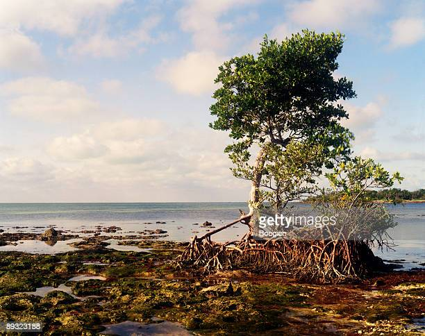 tropical mangrove tree in the florida keys - mangrove tree stock pictures, royalty-free photos & images