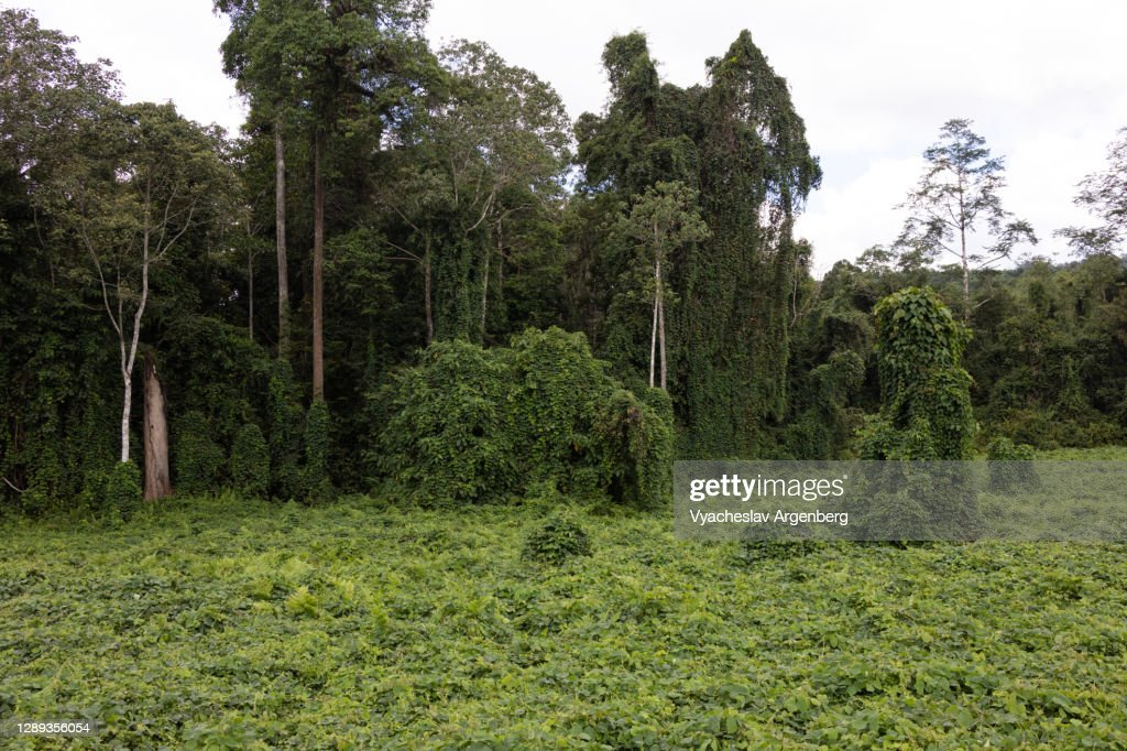 Tropical meadows and rainforest, Borneo : Stock Photo