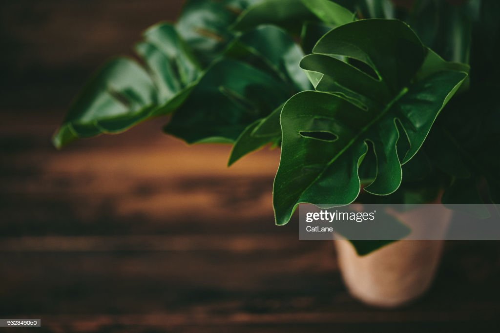 Tropical Monstera Potted Plant on Rustic Table : Stock Photo