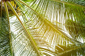 tropical palm leaf background coconut palm