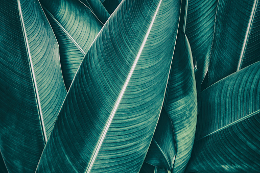 tropical palm leaf, dark green toned 909846922