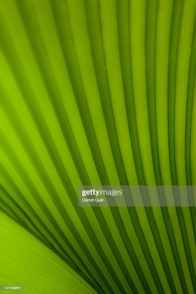 Tropical palm leaf detail : Bildbanksbilder