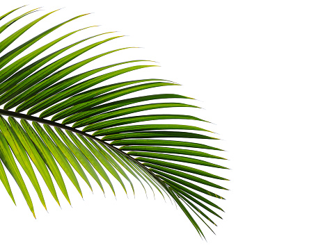tropical palm leaf isolated on white background 1097214228