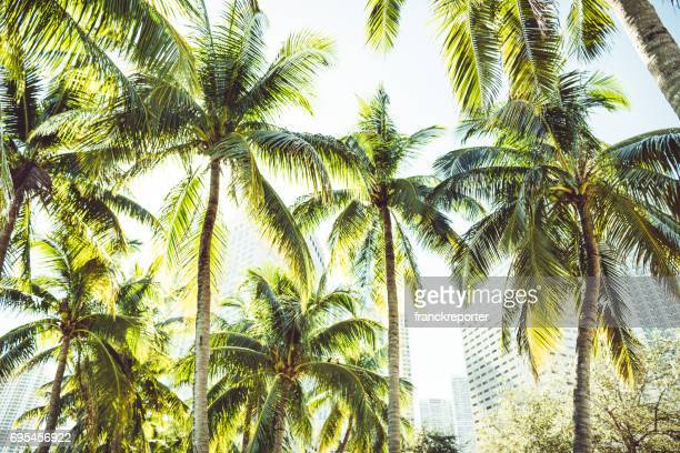 tropical palm tree in miami