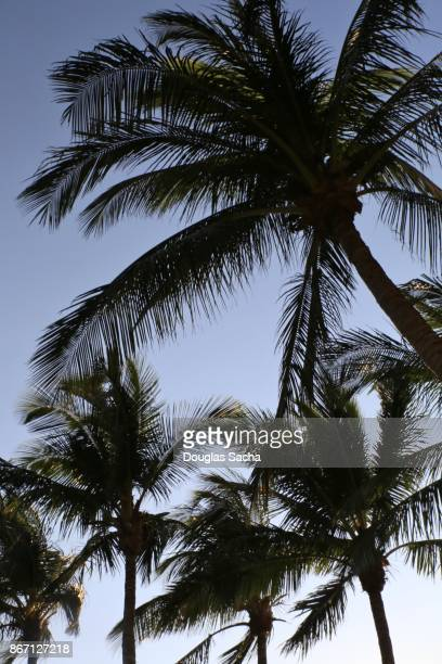Tropical Palm Trees above, Fort Lauderdale, Florida, USA