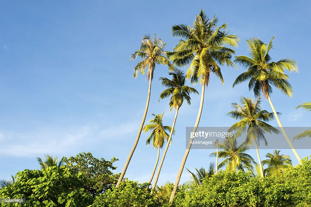 Tropical Palm Trees : Stock Photo
