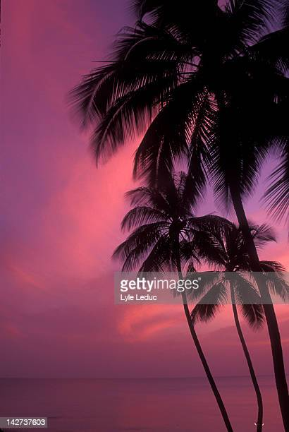 tropical palms - bridgetown barbados stock pictures, royalty-free photos & images