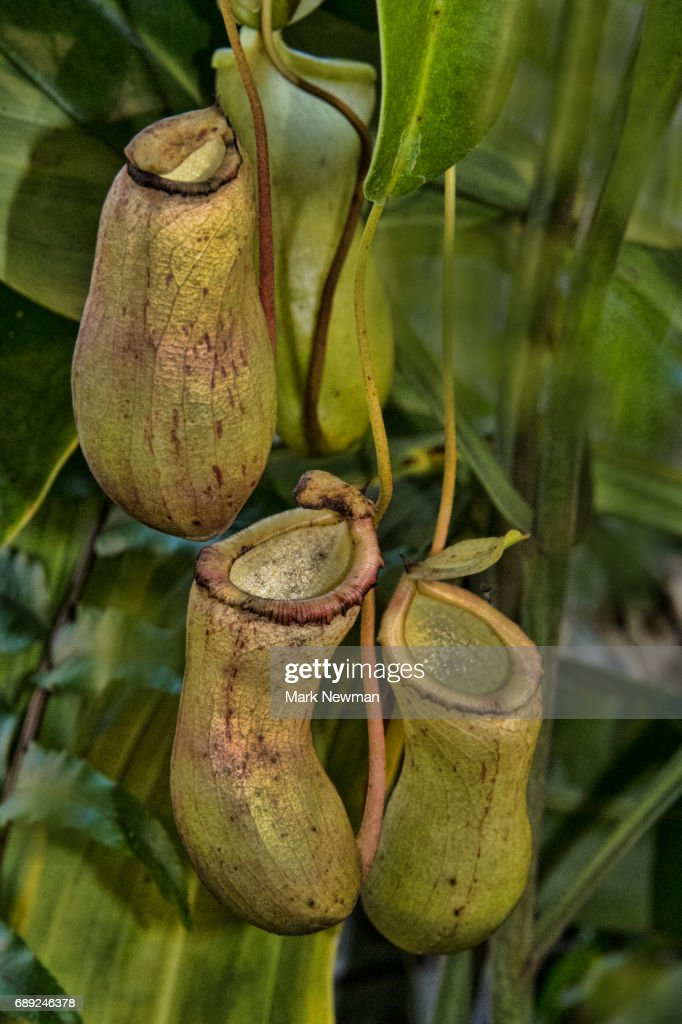 Tropical Pitcher Plant : Stock Photo