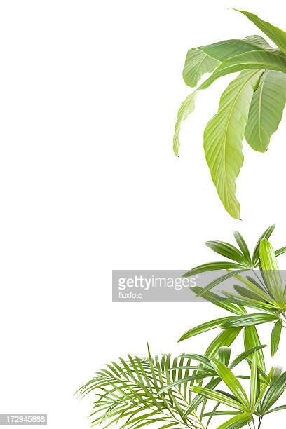 xxl tropical plants frame - banana tree stock pictures, royalty-free photos & images