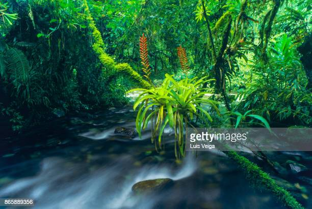 tropical rainforest, bromeliads - bromeliad stock photos and pictures