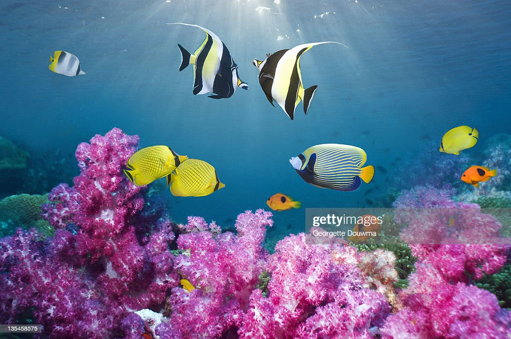 Tropical reef fish over soft corals. : Stock Photo