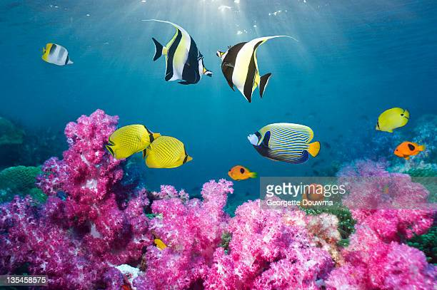 Tropical reef fish over soft corals.