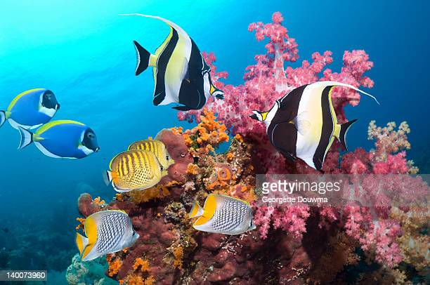 tropical reef fish with soft corals - id��e photos et images de collection