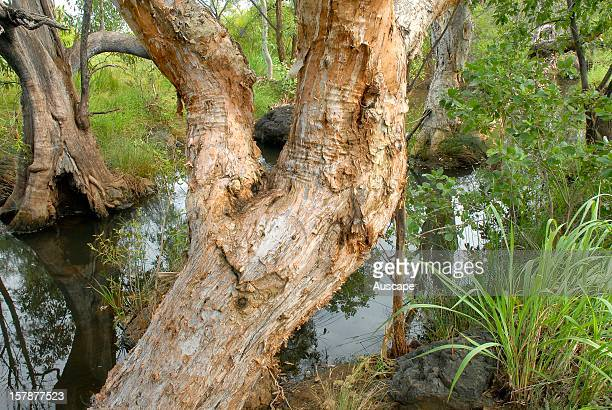 Tropical riparian gallery forest of Melaleuca and Pandanus on Annie Creek a tributary of the Adcock River in the upper Fitzroy Basin full with late...