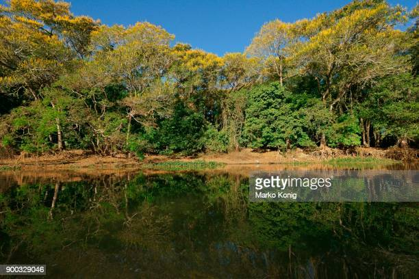 tropical riverbank vegetation on the river bank, yellow flowering lapacho trees, yellow lapacho (handroanthus serratifolius), pantanal, mato grosso, brazil - handroanthus stock pictures, royalty-free photos & images