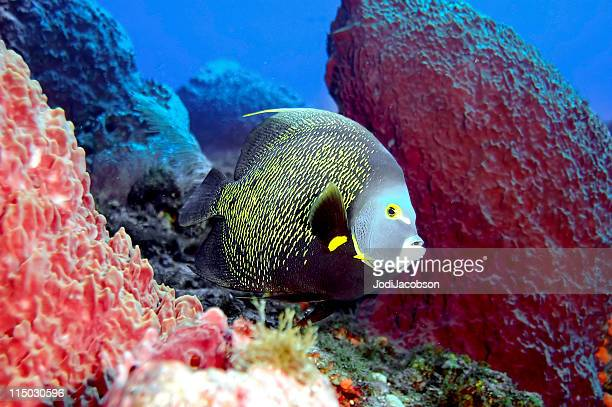 Tropical saltwater fish, Gray Angel