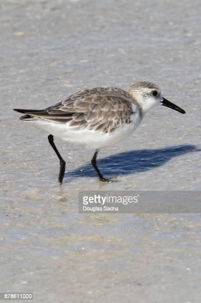 Tropical Sanderling bird scavenging for food in the sand (calidris alba)